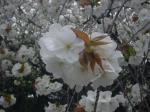 桜きれいだぜ!