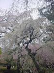 桜とおっさんⅡ