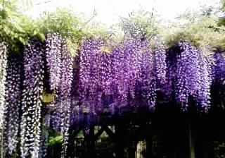 見事な『ふじ』の花!♪