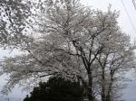 070331 地元の桜