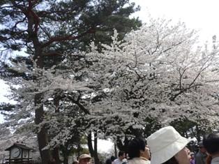 070401 天守閣桜①