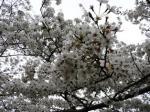 070401 天守閣桜④