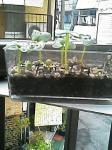 大根葉の芽吹き