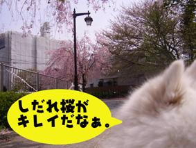 しだれ桜とライチ