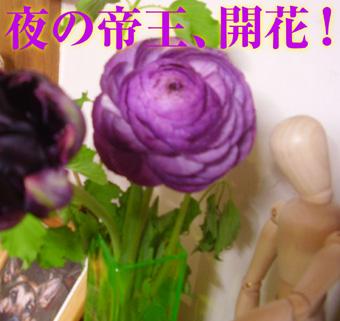 夜の帝王開花