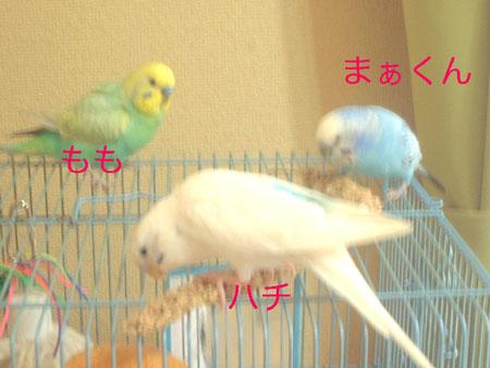 粟穂を食す3