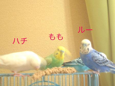 粟穂を食す2