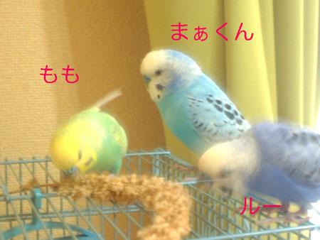粟穂を食す1