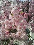 微笑み桜(拡大)