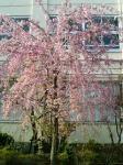 微笑み桜(全体)