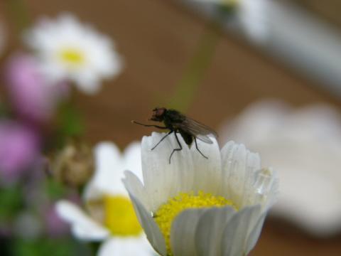 ハエ on the 花