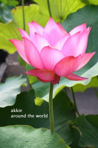 lotus9.jpg