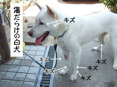 シロちゃん・紀州犬MIX