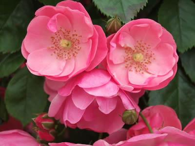 ♪薔薇は薔薇は気高く咲いて~