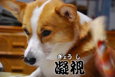 凝視する犬
