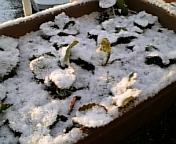 降雪イチゴ