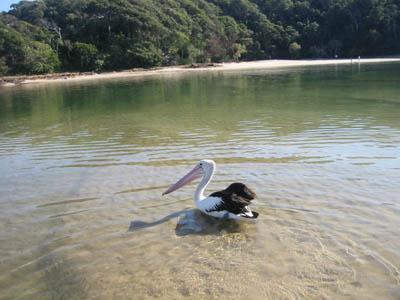 pelicon