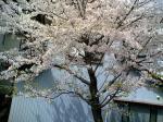 部屋の窓から見える桜