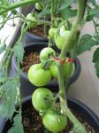 tomato-63_R.jpg