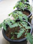 tomato14-1_R.jpg