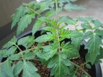 tomato14-2_R.jpg