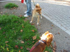 IMG_2339芝犬