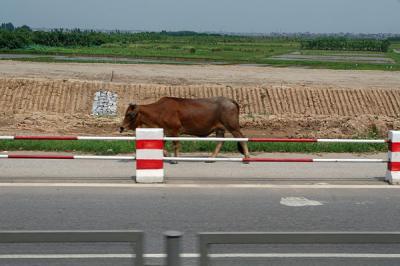 道路に牛?