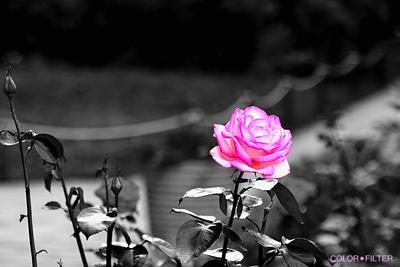 モノクロに浮かぶピンクのバラ