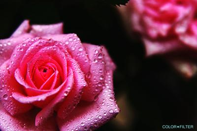 ピンクドロップス
