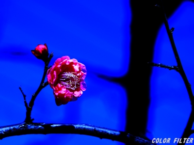 ピンクのつぼみと花