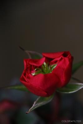 小さい赤い薔薇