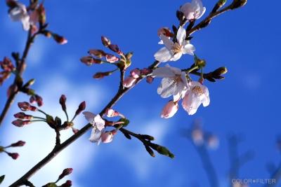 桜(ブルー&ピンク)