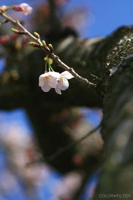 桜の木とサクラ