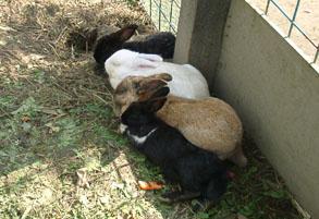 並んで寝るウサギ