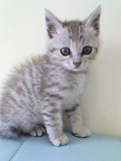 """宮崎県""""かわいい子猫あげます""""飼い主・里親募集!!"""