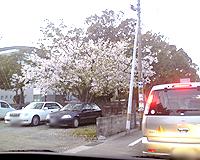県立図書館近くの桜