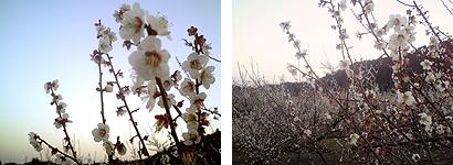 都農町轟地区の梅