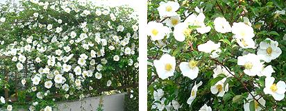 ビッグおぃさん家のバラの花