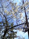 名古屋市内の桜。