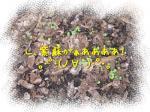 緑の芽が見えるかしら(・∀・)
