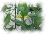 Snow peaの花も咲いたわ(・∀・)