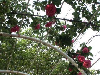 薔薇のアーチ..