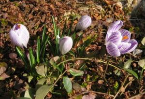 遅咲きのクロッカス