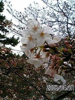 2006sakura1.jpg