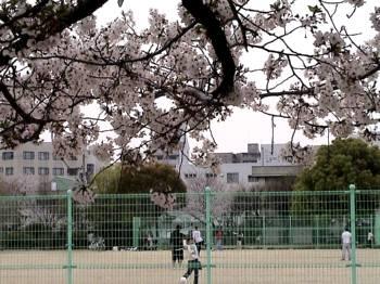 2007sakura6.jpg