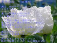 白い芥子の花