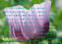 けしの花~誘惑