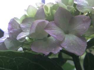 雨だれと紫陽花