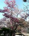 近江神宮の境内の桃