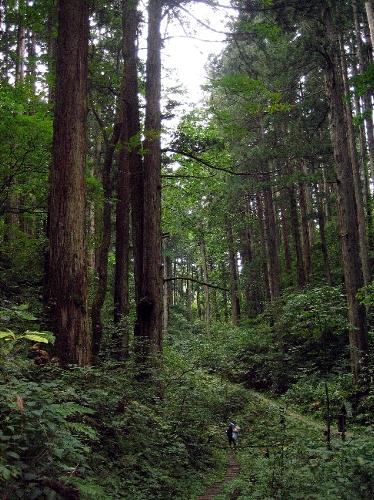 日本一高い杉